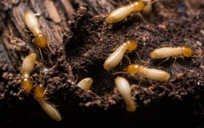 8 Ways to Prevent Termites in Your Home